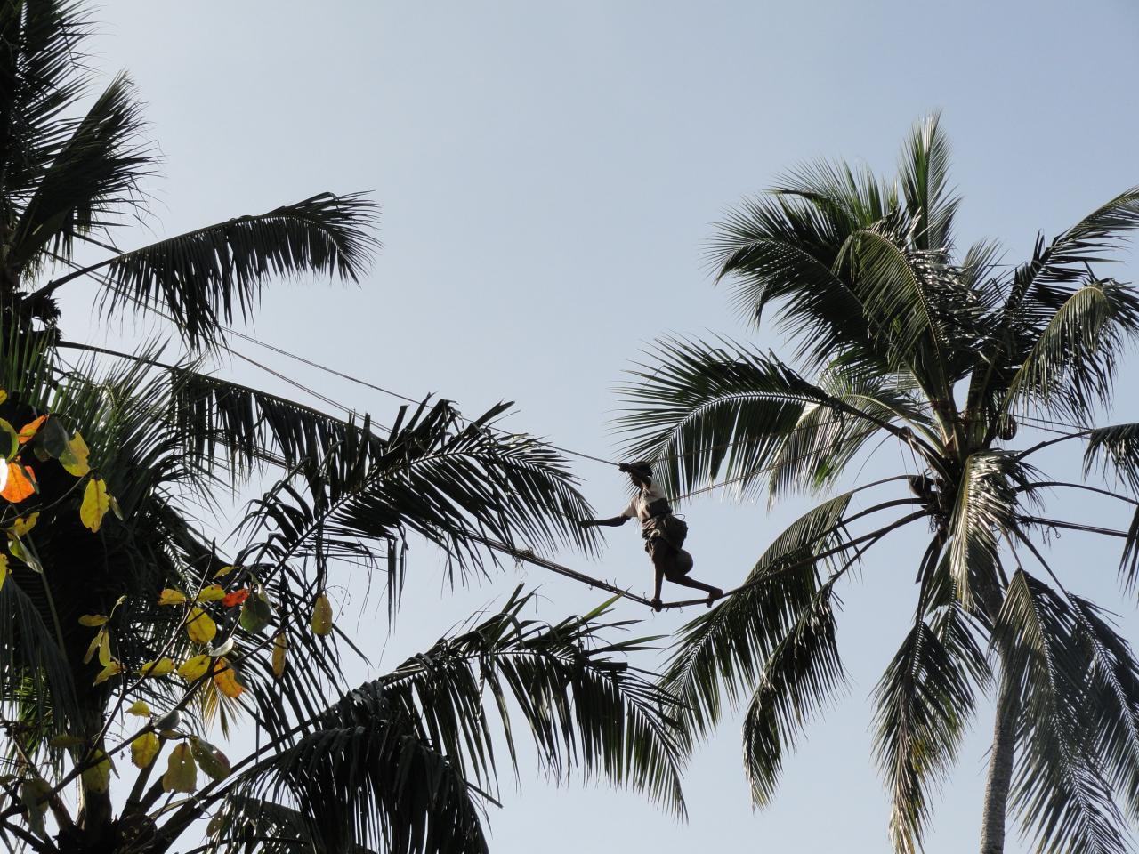 Récolte du nectar de coco